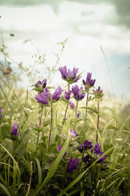 Close-up de flores de genciana em flor no Prado — Fotografia de Stock