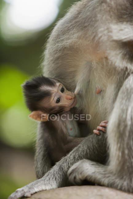 Годування дитинча довгий хвіст макака — стокове фото