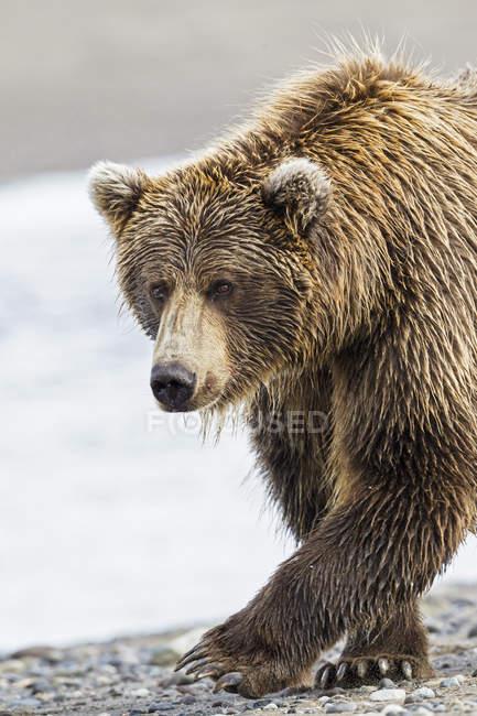 Primo piano di Brown bear walking presso Lake Clark National Park and Preserve, Alaska, Stati Uniti — Foto stock