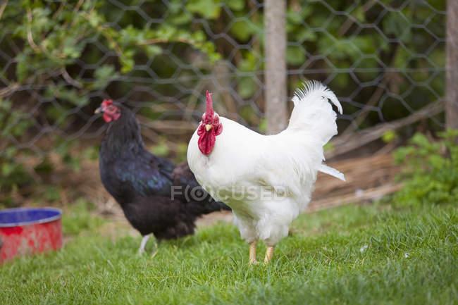 Dos pollos blancos y negros en la granja - foto de stock