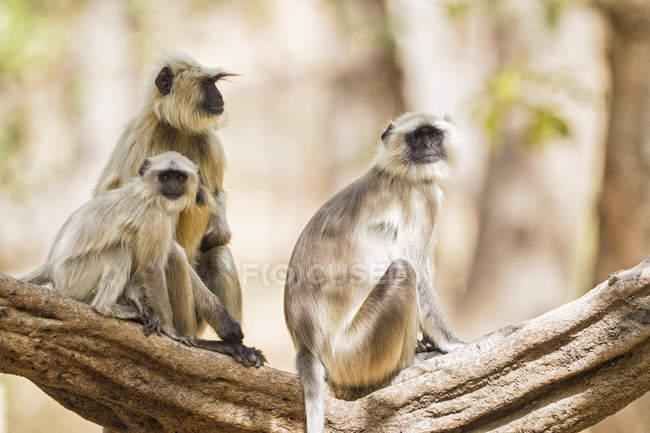 Singes Langur assis sur la branche — Photo de stock
