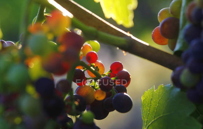 Close up of red grapes on vine — Stock Photo