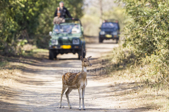 India, Uttarakhand, cervi dell'Asse davanti a jeep con turisti al Jim Corbett National Park — Foto stock