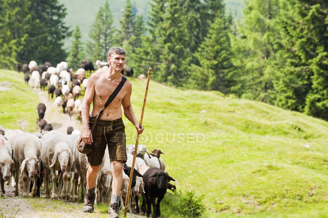 Shepherd herding sheep in mountains — Stock Photo