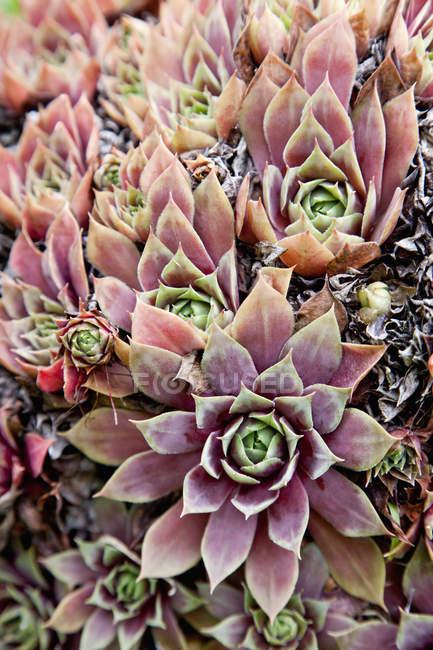 Nahaufnahme von Sukkulenten Pflanzen — Stockfoto