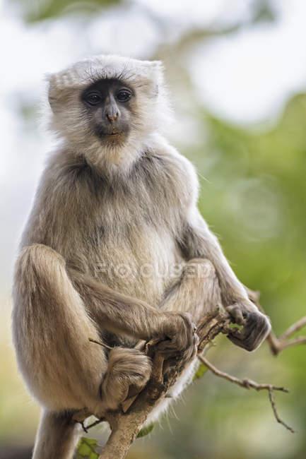 Langur sitting on branch — Stock Photo