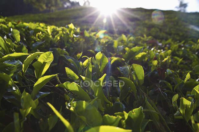 Closeup view of black tea field at daylight, Munnar, Kerala, India — Stock Photo