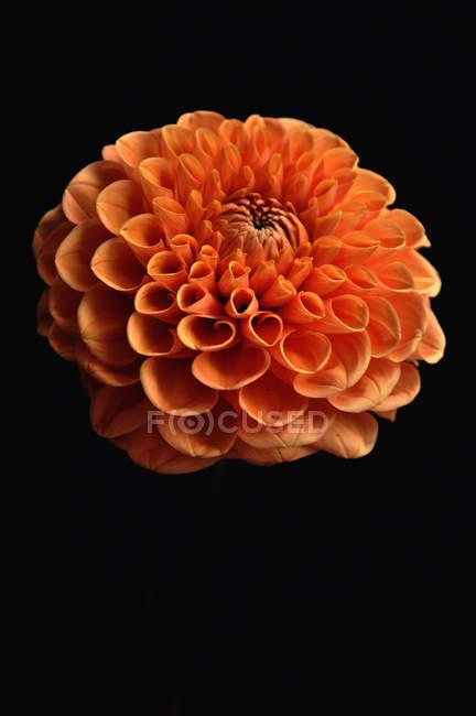 Close up of orange dahlia against black background — Stock Photo