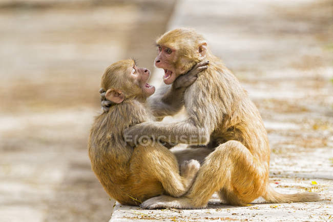 Rhesus Macaque monkeys playing — Stock Photo