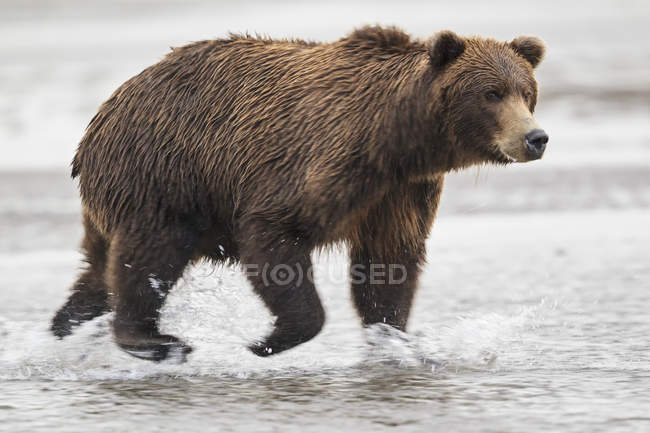 Brown bear running in Silver salmon creek — Stock Photo