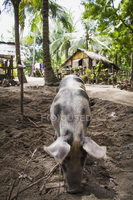 Schwein, die Suche nach Nahrung in Schmutz, Philippinen — Stockfoto