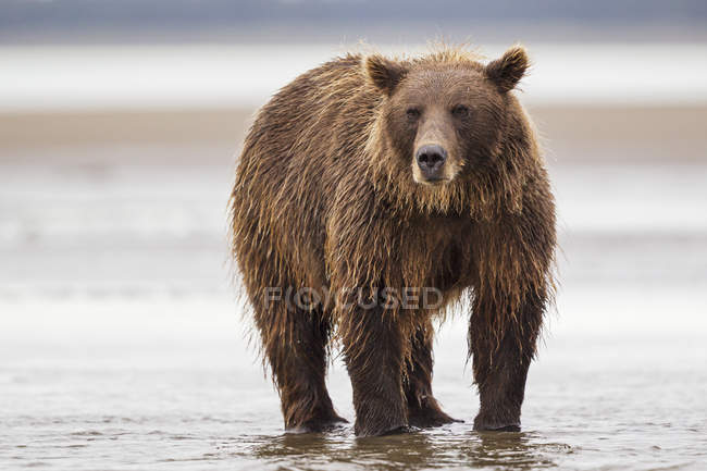 Bear standing in Silver salmon creek — Stock Photo
