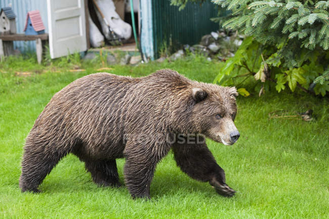 Bear walking in garden of lodge — Stock Photo