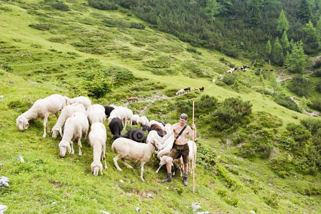 Pastor de arreo de ovejas en las montañas - foto de stock