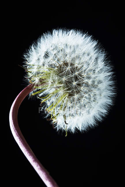 Inflorescence de pissenlit commun — Photo de stock