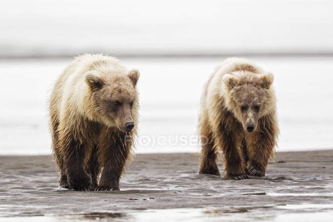 Brown bears walking at lake — Stock Photo