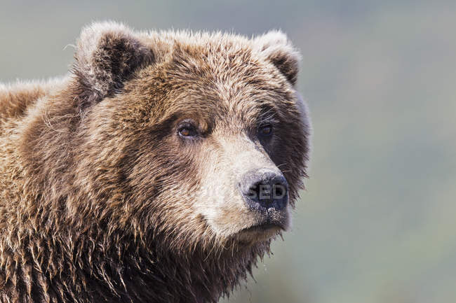 Close-up of Brown bear at Lake Clark National Park and Preserve, Alaska, USA — Stock Photo