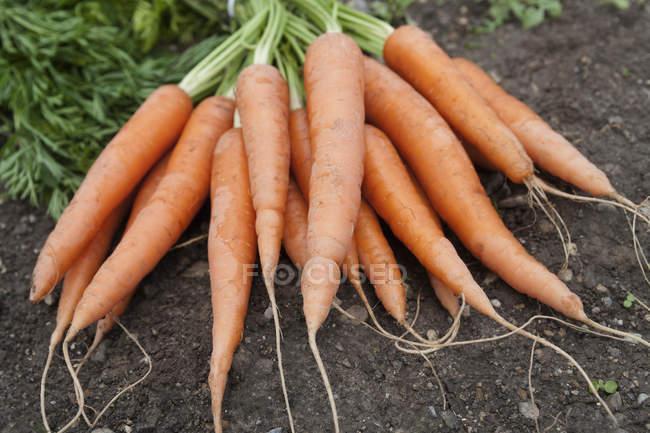 Freshly harvested carrots in heap — Stock Photo