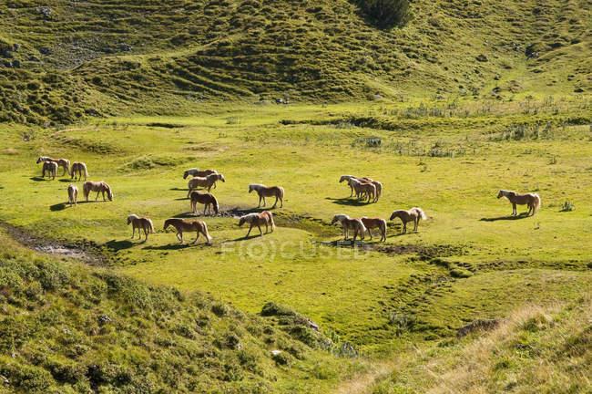Cavalli in piedi sul prato nelle Alpi di Tannheim, Austria — Foto stock