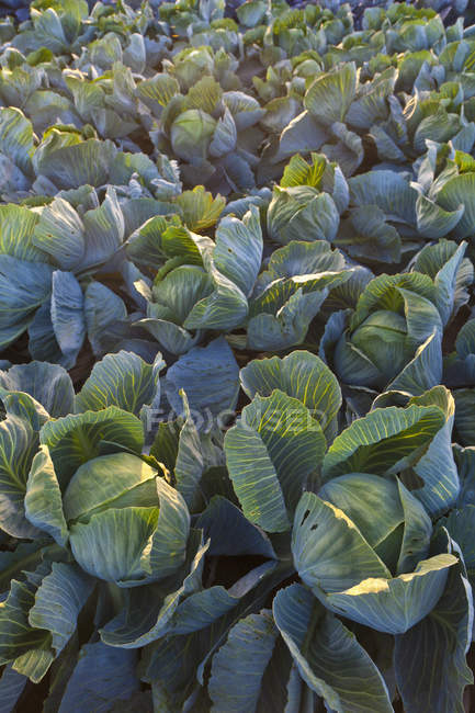 Cabbage plants growing on field — Stock Photo