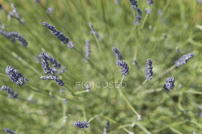 Lavender flowers in green field — Stock Photo