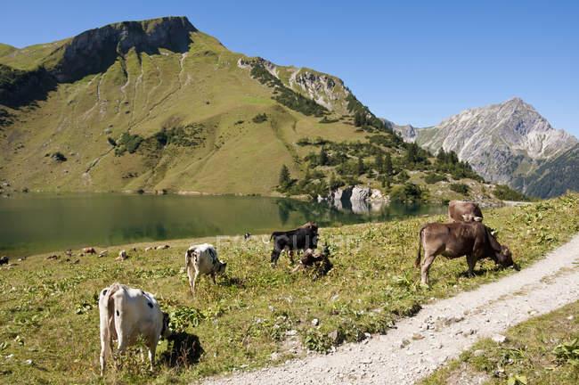 Austria, mucche al pascolo su prato a Tannheim Alpi durante il giorno — Foto stock
