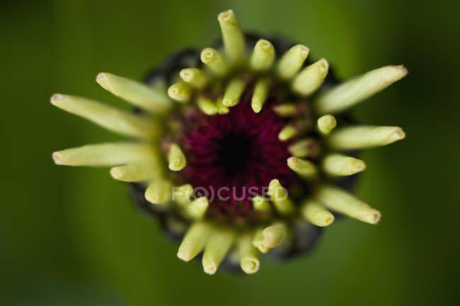 Alemanha, Zinnia flor, imagens grande plano — Fotografia de Stock