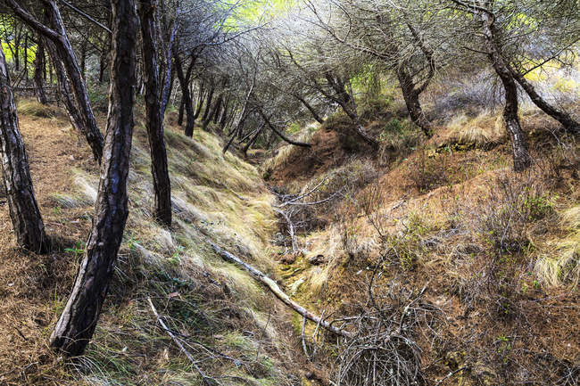 Португалия, видом на сосновый лес в дневное время — стоковое фото