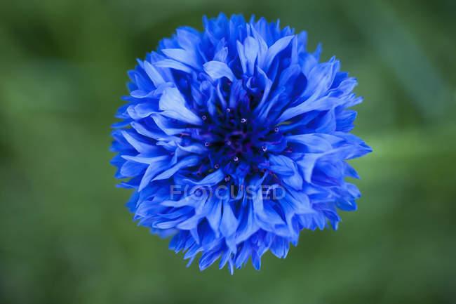 Alemania, Flor de botella azul, de cerca - foto de stock