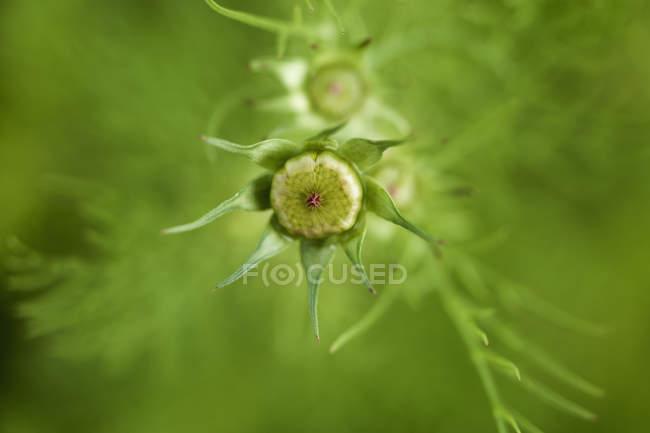 Vista da flor de cosmos sobre fundo verde turva — Fotografia de Stock