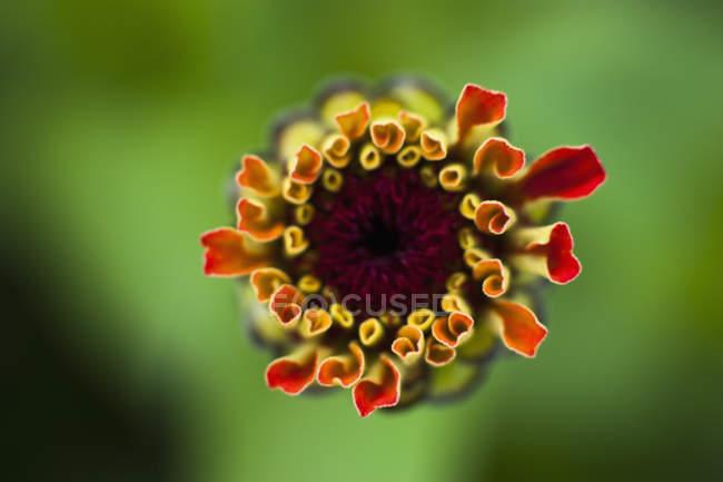 Подання Ціннія квітка на зелений розмитим фоном, крупним планом — стокове фото