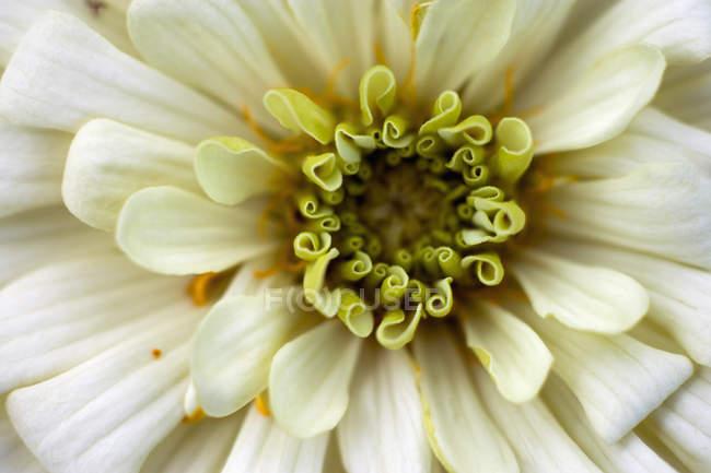 Germania, fiore di Zinnia, ravvicinato — Foto stock