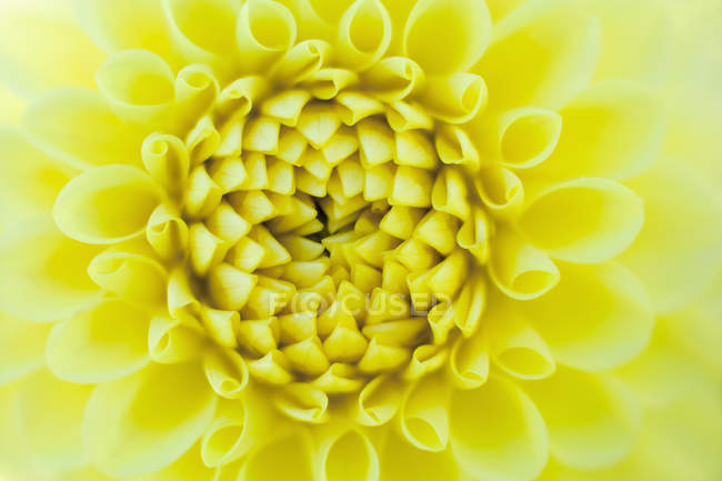 Yellow Dahlia flower, close up — Stock Photo
