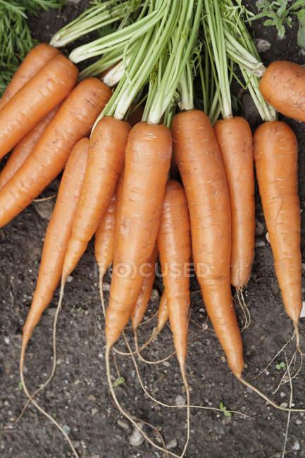 Zanahorias frescas escogidas - foto de stock