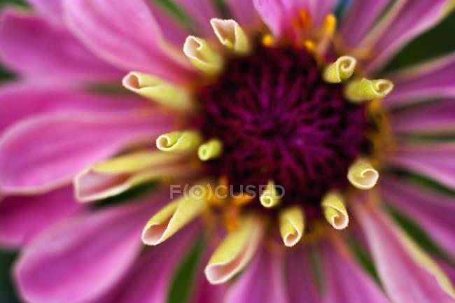 Rosa flor Zinnia, close-up — Fotografia de Stock