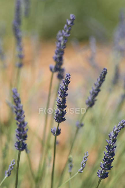 Lavender flower on sunny field — Stock Photo