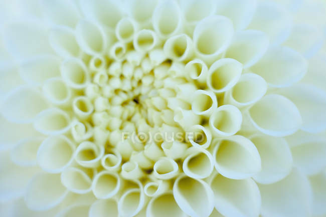Vue de la fleur Dahlia, gros plan — Photo de stock