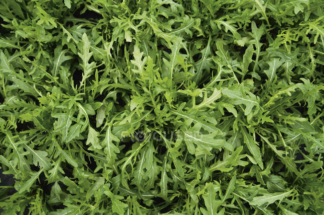 Rucola grüne Salatblätter — Stockfoto