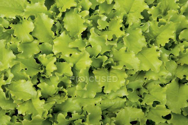 Листья салата — стоковое фото