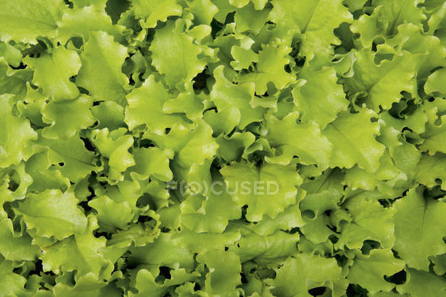 Lettuce leaf salad — Stock Photo
