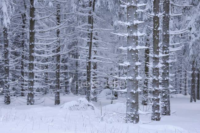 Вид на заснеженные деревья в заснеженном ландшафте Роен-Маунтейн — стоковое фото