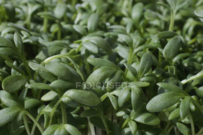 Ensalada de berros verdes tallos - foto de stock