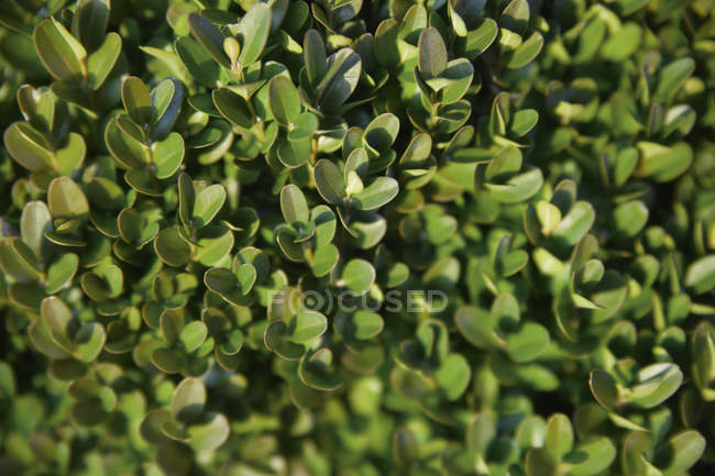 Box tree foliage closeup view — Stock Photo