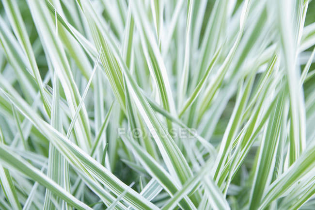 Germany, Bavaria, Reed canary grass, close up — Stock Photo