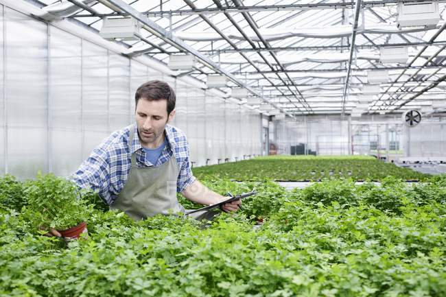 Man examining parsley plants — Stock Photo