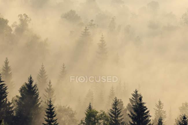 Forêt brumeuse à l'aube — Photo de stock