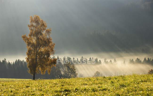 Австрия, Sunbeam на туманный березы в течение осени — стоковое фото