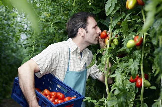 Uomo in serra tra piante di prezzemolo — Foto stock