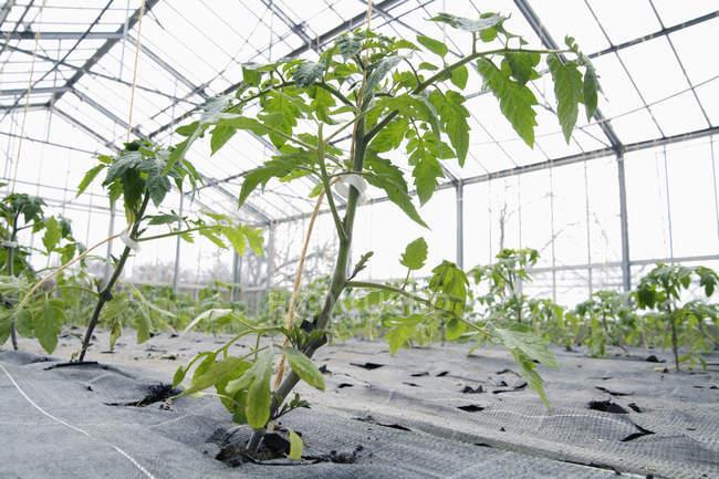 Cultivo de plantas de tomate en invernadero durante el día - foto de stock