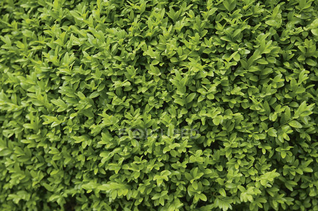 Германия, Бавария, Buxus sempervirens, close up — стоковое фото